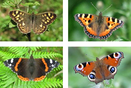 butterflies killarney