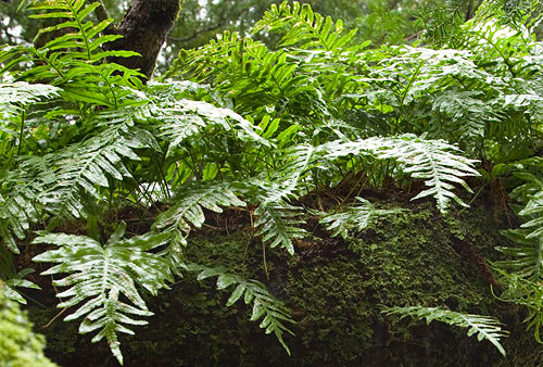 mosses and ferns killarney national park