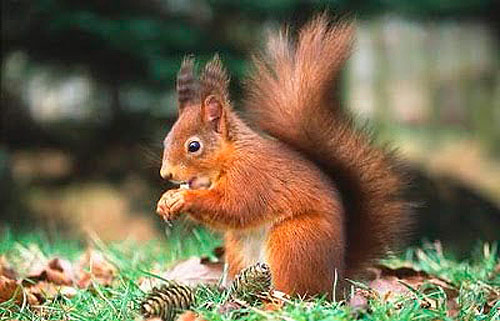 squirrels killarney national park