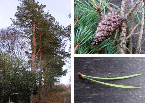 scots pine killarney national park