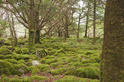 yew woodland killarney national park