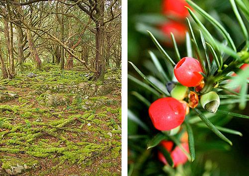 yew trees killarney national park